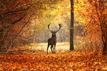 fallow deer stag in beautiful autumn forest