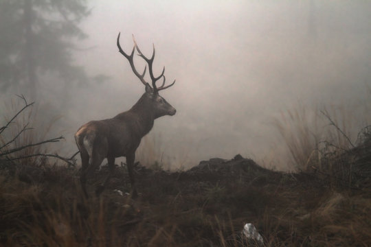 red deer stag in the wilderness of Carpathian mountains