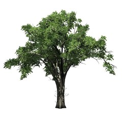 American Elm tree - isolated on white background