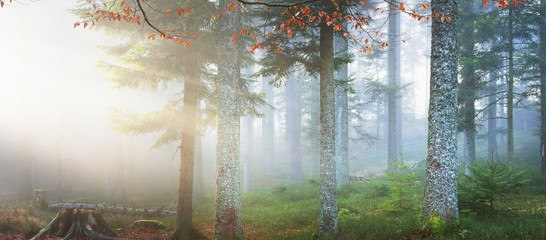 Scenic misty pine forest with a carpet of fallen leaves and tree stumps. French Alsace