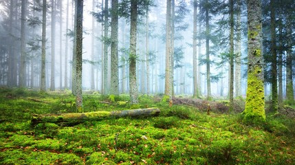 A scene in a dark misty pine forest with a moss carpet and fallen tree trunks. French Alsace.