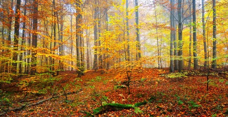 Beautiful beech tree forest in autumn with yellow and orange foliage. Heidelberg, Germany