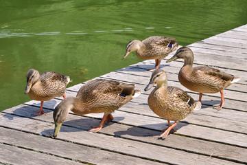 Female ducks mallard (Anas platyrhynchos) walking on a path made of wood planks