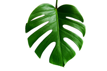 Monstera green leaf isolated on white background with clipping path for summer and spring design element.