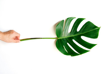 Human hand holding Tropical Monstera palm leaf isolated on white background with clipping path.