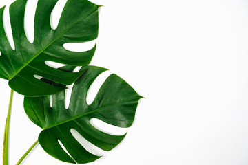 Monstera green leaf isolated on white background in flat lay style and top view.