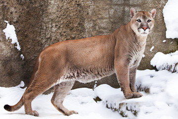 strong body of a big cat Cougar in profile, against a background of rocks and snow, view of the beast from the side.