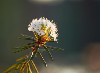 Closeup of marsh Labrador tea, Rhododendron tomentosum plant in the autumn sunlight. Selective focus, blurred background.