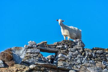 goats who climb the rocks in Amorgos island, cyclades greece