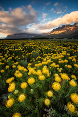 Wide angle landscape view of a large field of bright yellow pincushion proteas blowing in the wind in the fynbos capital, the Western Cape of South Africa