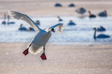 Swan landing on frozen lake.