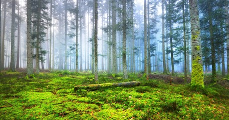 Dark misty pine forest with a green carpet of moss in France Alsace, Vosges Mountains