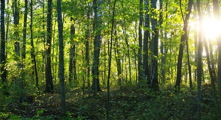 Wild and dense green forest with green foliage in autumn evening with sun rays shining through