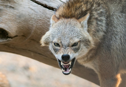 A Golden jackal animal in anger and fight mode in nature.