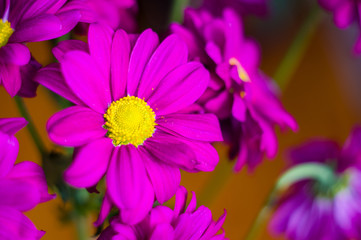 Beautiful bright purple and yellow chrysanthemum flowers, selective focus, macro