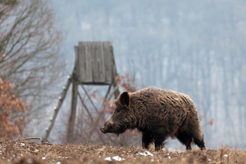 Poster Chasse wild boar in the forest