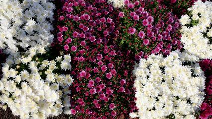 chrysanthèmes chez le fleuriste
