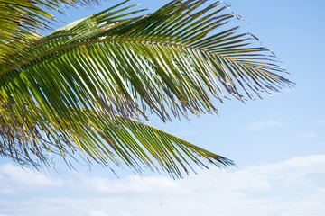 low angle shot of big tropical palm tree leaves against a blue sky