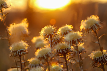 Dry wild plants on meadow, winter sunset