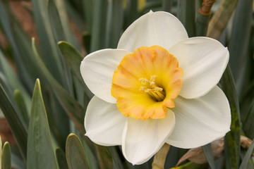 Foto op Canvas Narcis daffodil cup