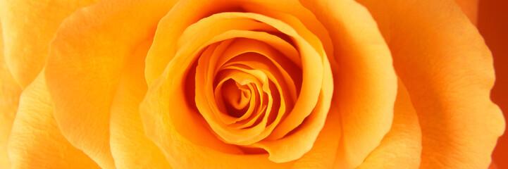 Orange rose macro panorama