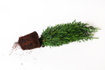 Plant cypress seedling with soil on white background. Earth Day April 22 concept