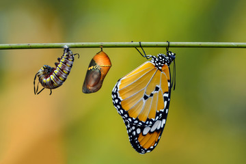 Printed kitchen splashbacks Butterfly Amazing moment ,Monarch butterfly and caterpillar and chrysalis