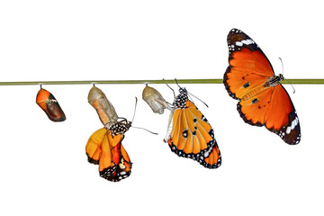 Aluminium Prints Butterfly Amazing moment ,Monarch butterfly and caterpillar and chrysalis