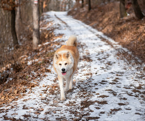 Akita dog in the forest in winter