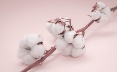 natural cotton flowers on pale pink background