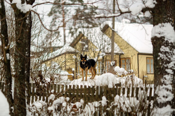 Watchdog outside the house. Snowy winter on the street in the Russian village.
