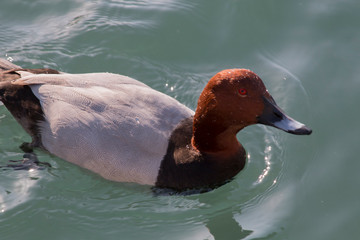 Close up Red head duck Aythya americana in the lake