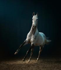 grey akhal-teke horse running in dark background