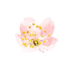 Spring blossoming pink spring flower