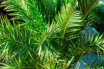 green branches of palm trees close-up