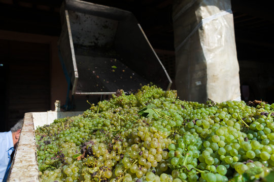 truck full of grapes during harvest time in Tuscany
