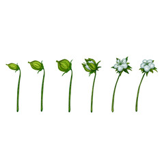 Cotton plant blossom photo-realistic
