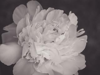 Fotobehang black and white peony