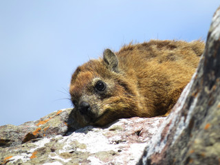 A rock hyrax (Procavia capensis) enjoying the sun on a cliff near the sea in South Africa.