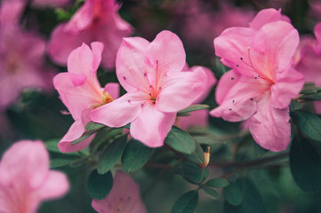 Bloeiende hybride Azalia Rhododendron hybridum selectie in een kas