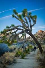 Joshua tree leaning over a trail