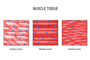 muscle tissue: Skeletal, smooth and cardiac