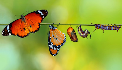 Aluminium Prints Butterfly Amazing moment ,Monarch Butterfly , caterpillar, pupa and emerging with clipping path
