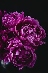 Close up of purple peonies
