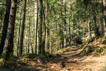 coniferous forest of trees with a full frame trail