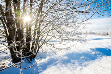 Country landscape. A view of the snow-covered field and birch trees on a sunny day. Latvia