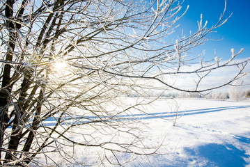 Winter landscape. Snow and frost on the birch trees against clear blue sky. Latvia
