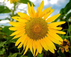 Lindo Girassol Amarelo de Minas Gerais