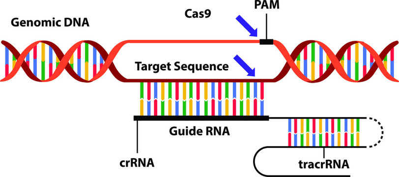 Vector illustration of the new science technique CRISPR-Cas (clustered regularly interspaced short palindromic repeats). Visualisation of the mechanism by which genomes can be edited or engineered.