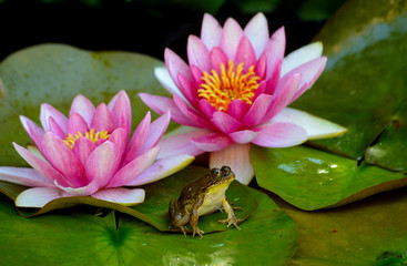 A frog sits on a green lilypad in a small pond under pink waterlilies.